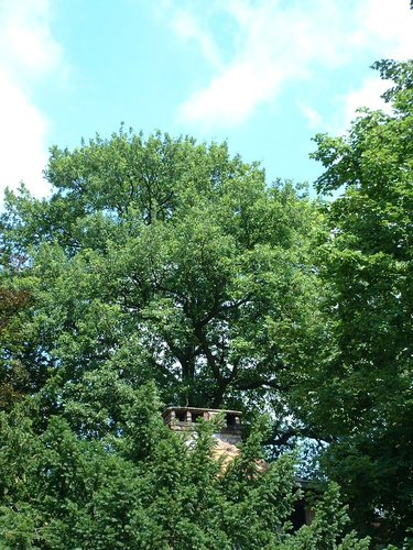 Chêne pédonculé – Watermael-Boitsfort, Avenue Léopold Wiener, 88 –  18 Juillet 2002