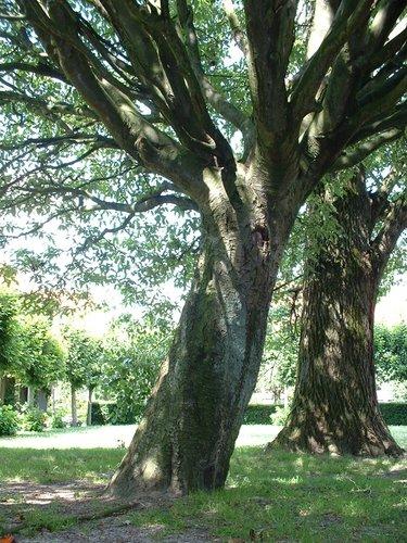 Sorbier de Thuringe – Watermael-Boitsfort, Cités-Jardin Le Logis et Floréal, Avenue des Dryades –  18 Juillet 2002