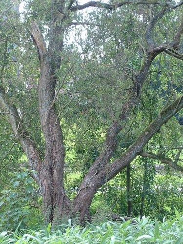 Salix babylonica 'Tortuosa' – Oudergem, Senypark, Vorstlaan –  19 Juli 2002
