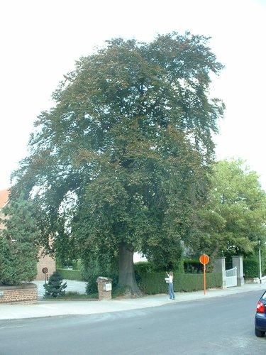 Hêtre pourpre – Berchem-Sainte-Agathe, Avenue de la Basilique, 14 –  08 Septembre 2003