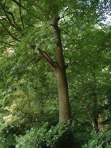 Kolchische Esdoorn – Watermaal-Bosvoorde, Tenreukenpark, Vorstlaan –  19 Juli 2002