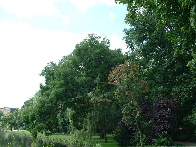 Sophora du Japon – Watermael-Boitsfort, Parc Tenreuken, Boulevard du Souverain –  19 Juillet 2002