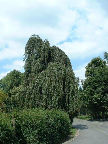 Hêtre pleureur – Watermael-Boitsfort, Parc Tenreuken, Avenue du Grand Forestier –  19 Juillet 2002