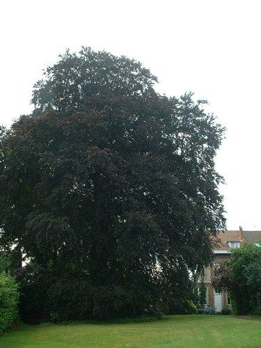 Hêtre pourpre – Watermael-Boitsfort, Rue des Garennes, 84 –  25 Juillet 2002