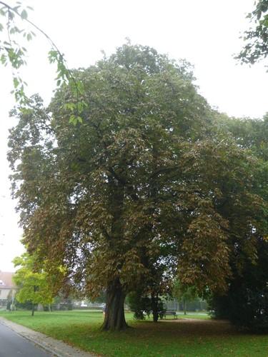 Marronnier commun – Watermael-Boitsfort, Square de l'Arbalète –  08 Septembre 2014