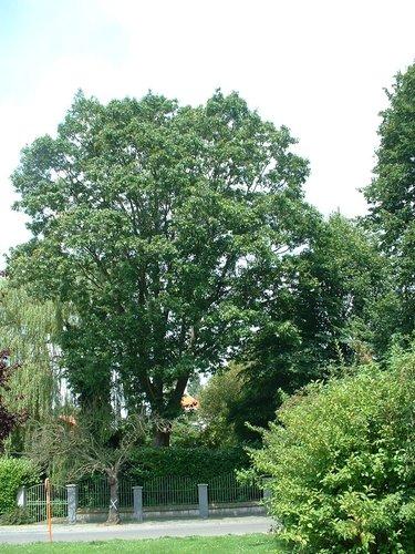 Chêne rouge d'Amérique – Watermael-Boitsfort, Avenue de la Tenderie, 31 –  25 Juillet 2002