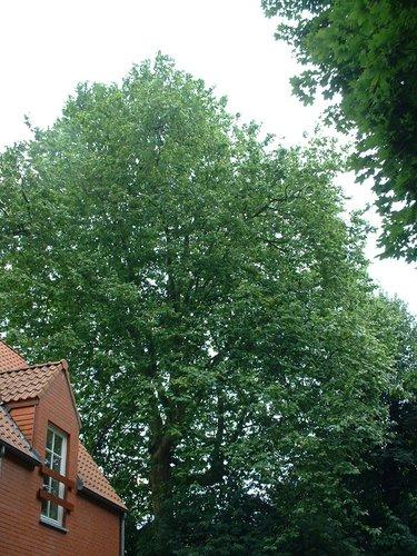 Platane à feuille d'érable – Watermael-Boitsfort, Avenue Emile Van Becelaere, 27 –  25 Juillet 2002