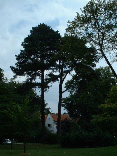 Pin noir – Watermael-Boitsfort, Avenue Emile Van Becelaere, 28 –  25 Juillet 2002