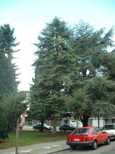 Sapin de Lowe – Berchem-Sainte-Agathe, Rue de Termonde –  11 Septembre 2003