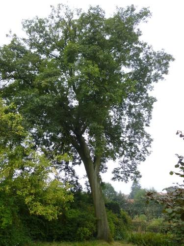 Quercus sp<br>Watermael-Boitsfort Avenue Emile Van Becelaere, 42