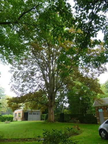 Erable sycomore – Watermael-Boitsfort, Avenue Emile Van Becelaere, 16 –  08 Septembre 2014