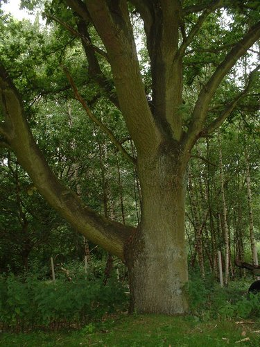 Chêne pédonculé – Watermael-Boitsfort, Avenue de la Foresterie –  26 Juillet 2002