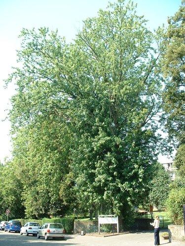 Erable argenté – Berchem-Sainte-Agathe, Avenue du Roi Albert, 88 –  04 Août 2003