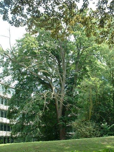 Tilleul à larges feuilles – Watermael-Boitsfort, Chaussée de La Hulpe, 166 –  26 Juillet 2002