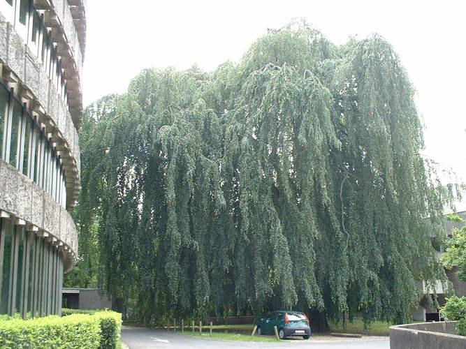 Hêtre pleureur – Watermael-Boitsfort, Ancien siège de Glaverbel, Chaussée de La Hulpe, 166 –  26 Juillet 2002