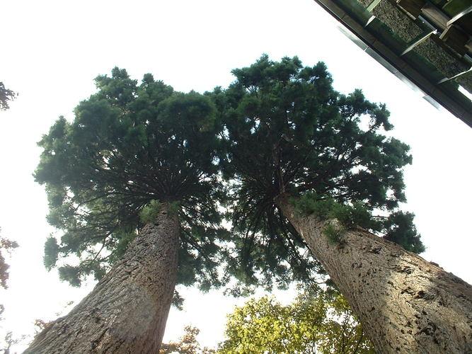 Sequoia géant – Watermael-Boitsfort, Chaussée de La Hulpe, 166 –  26 Juillet 2002