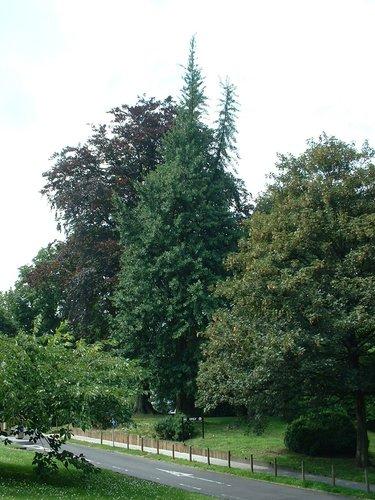 Arbre aux quarante écus – Watermael-Boitsfort, Chaussée de La Hulpe, 166 –  26 Juillet 2002