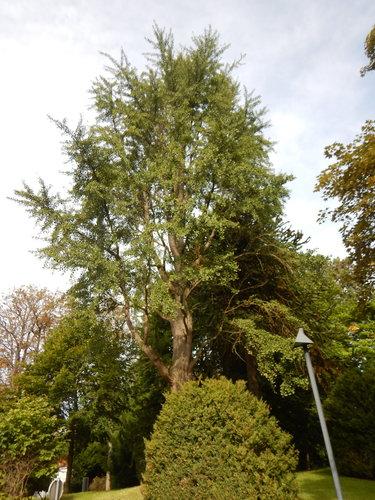 Japanse notenboom – Watermaal-Bosvoorde, Terhulpsesteenweg, 166 –  14 September 2021