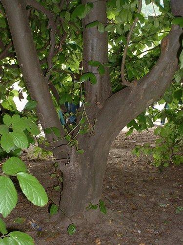 Parrotie de Perse – Watermael-Boitsfort, Parc Seny, Boulevard du Souverain –  19 Juillet 2002