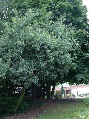 Tril- of ratelpopulier – Oudergem, Senypark, parc –  22 Juli 2002