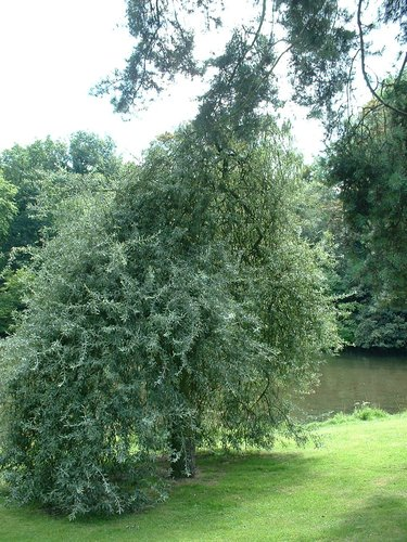 Pyrus salicifolia f. pendula – Watermael-Boitsfort, Parc Tenreuken, Boulevard du Souverain –  22 Juillet 2002