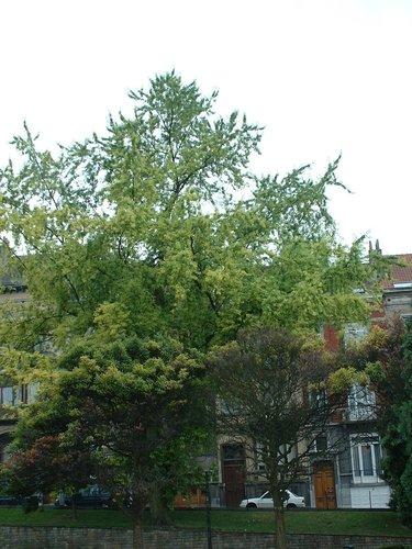 Acer saccharinum var. laciniatum<br>Saint-Gilles Place Louis Morichar