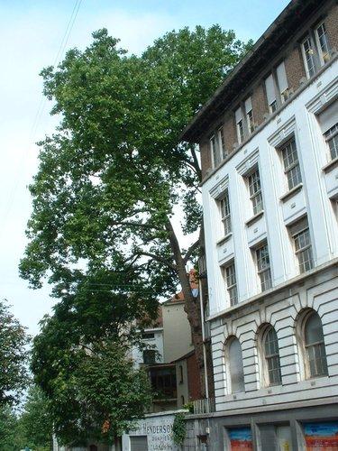 Platane à feuille d'érable – Saint-Gilles, Avenue Henri Jaspar, 102 –  08 Août 2002