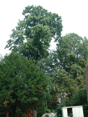 Tilleul argenté pleureur – Saint-Gilles, Chaussée de Charleroi, 151 –  08 Août 2002