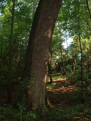 Chêne pédonculé – Watermael-Boitsfort, Drève des Rhododendrons –  07 Août 2002
