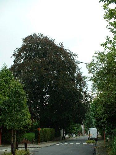 Rode beuk – Watermaal-Bosvoorde, Hertogendreef, 115 –  07 August 2002