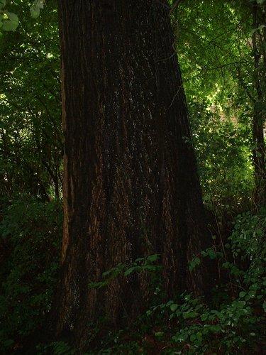 Chêne rouge d'Amérique – Watermael-Boitsfort, Drève du Duc, 71 –  07 Août 2002