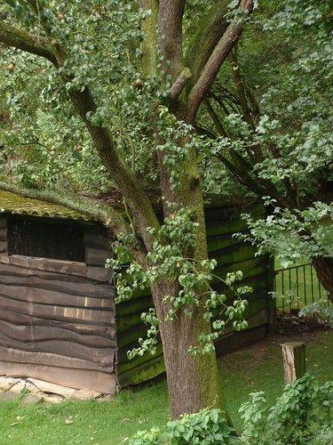 Poirier cultivé – Woluwé-Saint-Lambert, Avenue de la Croix du Sud, 24 –  09 Août 2002