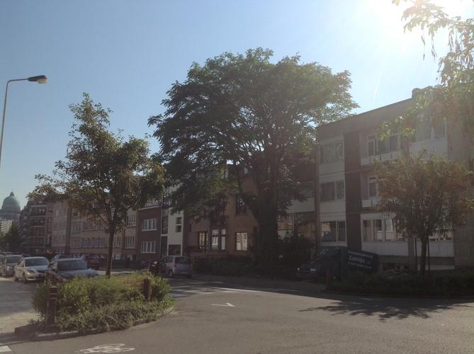 Ailante glanduleux – Berchem-Sainte-Agathe, Avenue de la Basilique, 85 –  28 Août 2013
