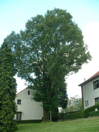 Chêne rouge d'Amérique – Woluwé-Saint-Lambert, Avenue du Bleuet –  12 Août 2002