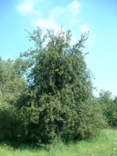 Poirier cultivé – Woluwé-Saint-Lambert, Avenue Hof ten Berg –  13 Août 2002