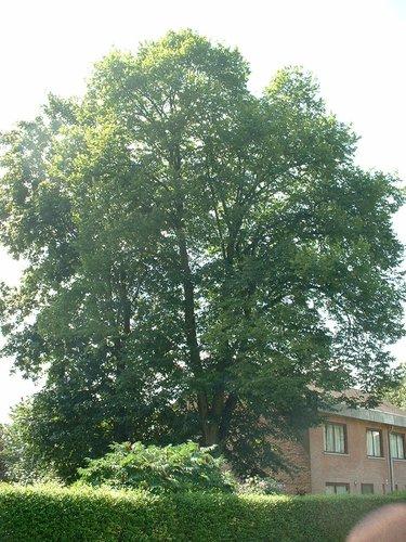 Tilleul à petites feuilles – Woluwé-Saint-Lambert, Clos Prométhée –  13 Août 2002