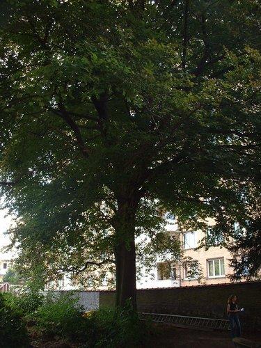 Rode beuk – St.- Lambrechts - Woluwe, Hertogstraat, 133 –  14 August 2002