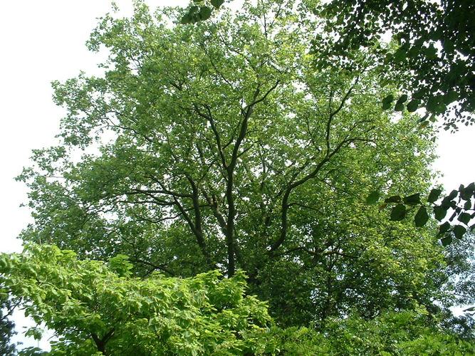 Platane à feuille d'érable – Saint-Gilles, Avenue Brugmann, 16 –  19 Août 2002