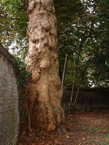 Platane à feuille d'érable – Saint-Gilles, Ilôt Horta, Chaussée de Charleroi, 222 –  20 Août 2002
