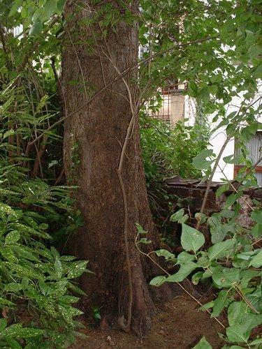 Erable sycomore – Saint-Gilles, Rue Bosquet, 14 –  22 Août 2002