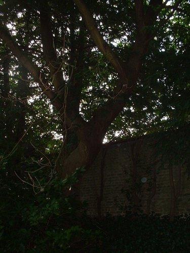 Erable à feuilles de frêne – Saint-Gilles, Chaussée de Charleroi, 116 –  23 Août 2002