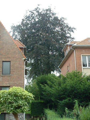 Rode beuk – St.- Pieters - Woluwe, Gerustheidsplein, 7 –  23 August 2002