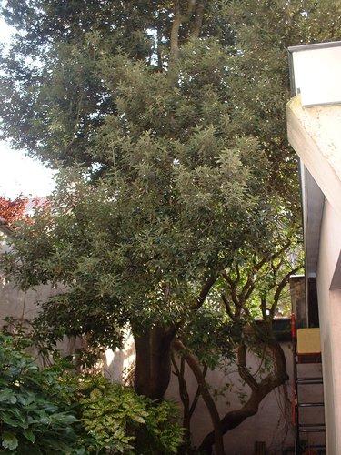 Chêne vert – Saint-Josse-Ten-Noode, Rue du Cadran, 28 –  04 Octobre 2002