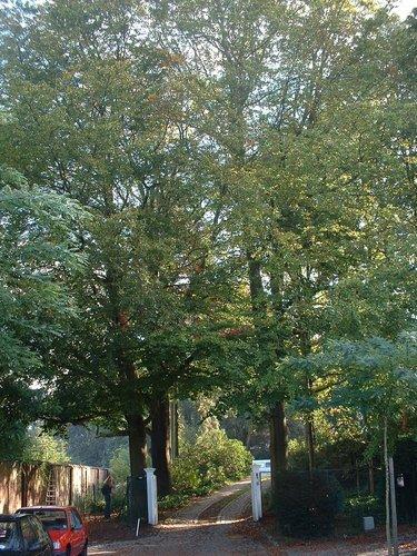Hêtre d'Europe – Uccle, Avenue Juliette, 20 –  07 Octobre 2002