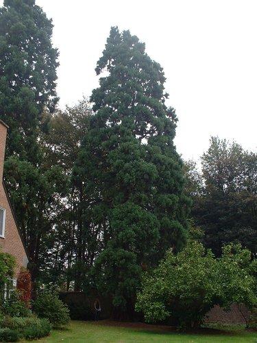 Sequoia géant – Woluwé-Saint-Pierre, Avenue Roger Vandendriessche, 20 –  08 Octobre 2002