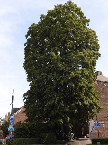 Zilverlinde – St.- Pieters - Woluwe, Kleine Kerkstraat, 2 –  07 August 2017