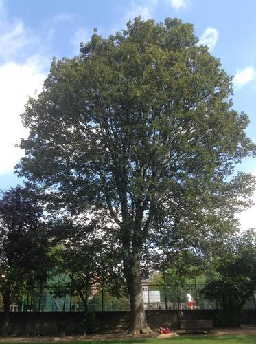 Acer pseudoplatanus 'Purpurascens' – St.- Agatha - Berchem, Pirsoulpark, parc –  02 September 2013