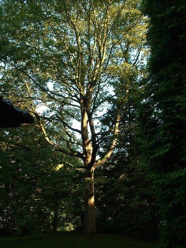 Acer pseudoplatanus f. aureovariegatum – Woluwé-Saint-Pierre, Avenue de Tervueren, 262 –  04 Octobre 2002