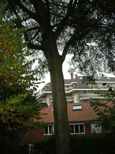 Hêtre à feuilles lacinées<br>Woluwé-Saint-Pierre Avenue des Géraniums, 21