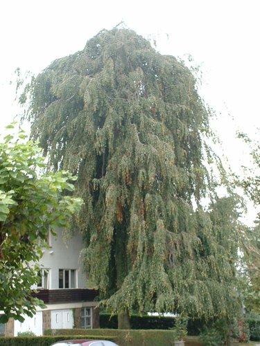 Hêtre pleureur – Woluwé-Saint-Pierre, Avenue des Camélias, 19 –  08 Octobre 2002